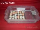 Chocadeira automatica eletrica 20a30 ovos Promoção RJ