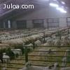 Moderna explotación ovina en venta