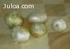 Se venden cebollas blancas para siemprevivas